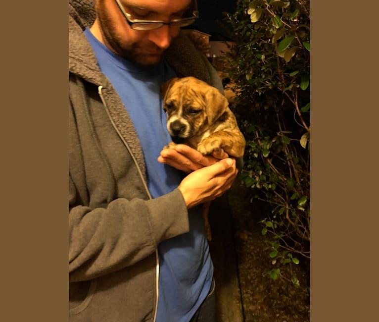 Photo of Mikey, an American Bulldog  in Houston, Texas, USA