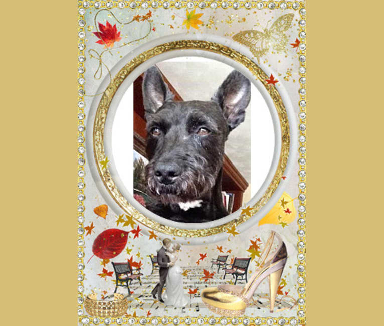 Photo of Roscoe, an American Pit Bull Terrier and Miniature Schnauzer mix in Utica, New York, USA