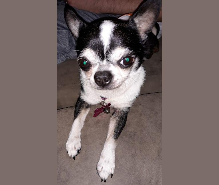 Photo of Tux, a Chihuahua  in California, USA