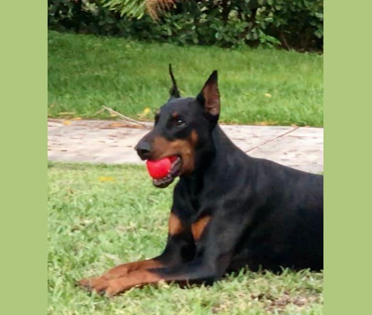 Photo of Striker, a Doberman Pinscher  in West Palm Beach, Florida, USA