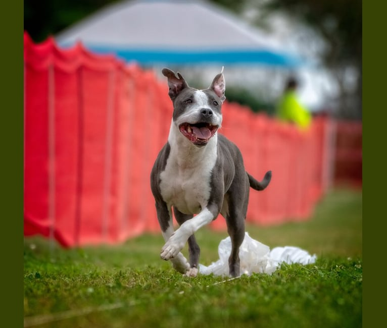 """Photo of """"Piper"""" Bullseye's Treble Twenty, an American Pit Bull Terrier and American Staffordshire Terrier mix in Lawrenceville, Georgia, USA"""