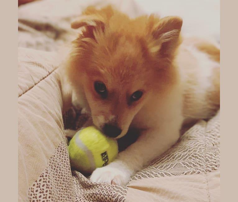 Photo of Jack Ryan Kennedy, a Pomeranian  in Cordell, OK, USA