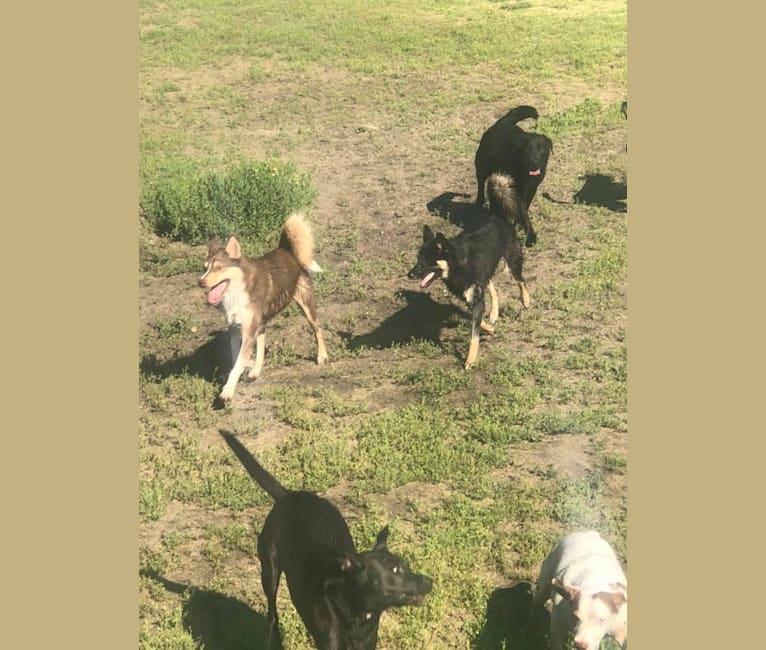 Photo of Jake, an Australian Shepherd, Siberian Husky, and Miniature/MAS-type Australian Shepherd mix in Topeka, Kansas, USA