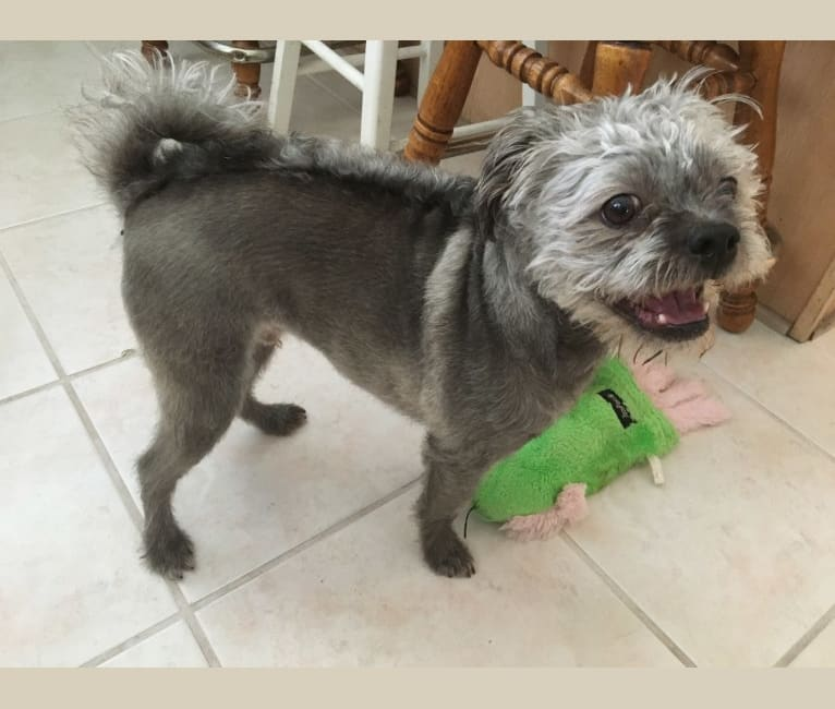Photo of Scruffles, a Pugapoo  in Santa Clarita, California, USA