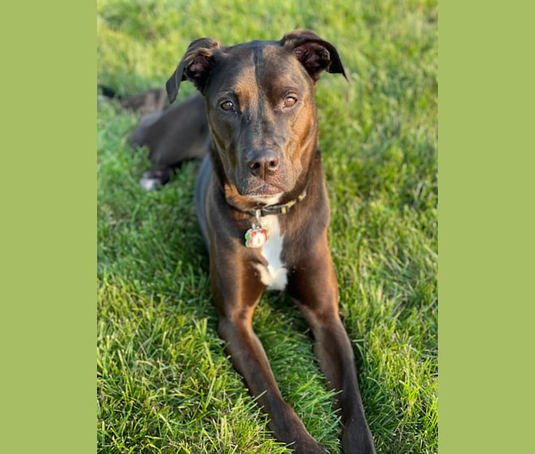 Photo of Axel, a Staffordshire Terrier, Rottweiler, and German Shepherd Dog mix in Rescue found in a dumpster