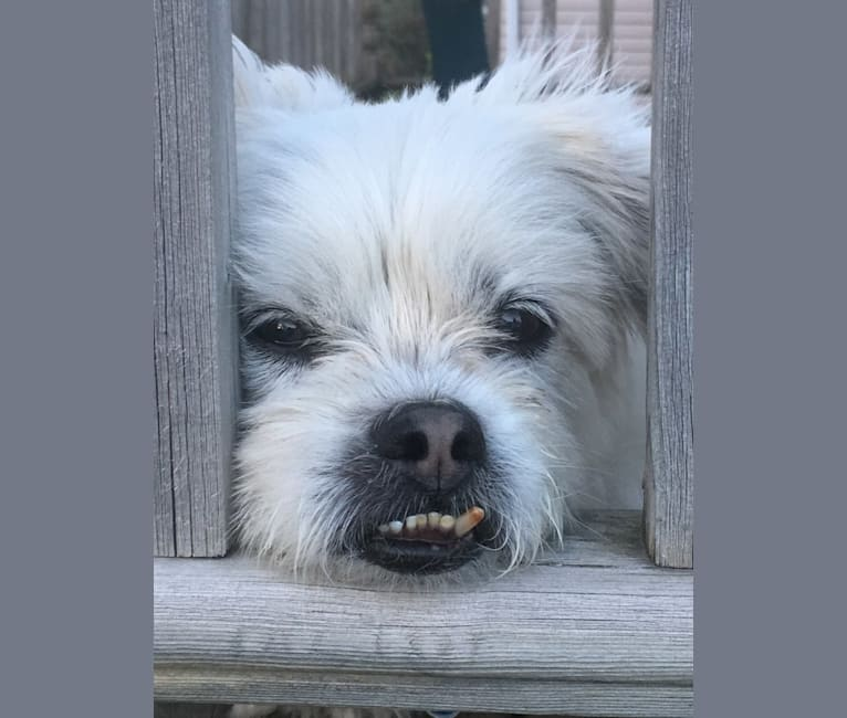 Photo of Sinbad, a Shih Tzu and Lhasa Apso mix