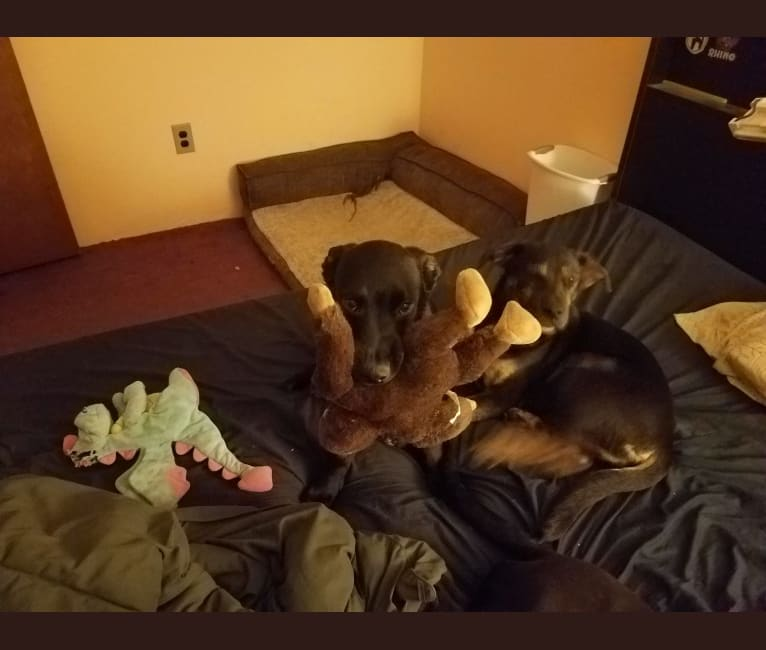 Photo of Keiji Ishida, an American Pit Bull Terrier, Border Collie, Alaskan Malamute, and Australian Shepherd mix in Snohomish, Washington, USA