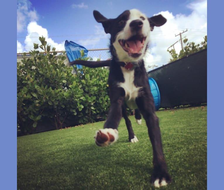 Photo of Wayah Bald, an American Pit Bull Terrier, Rottweiler, Old English Sheepdog, American Bulldog, and Mixed mix in Miami, Florida, USA