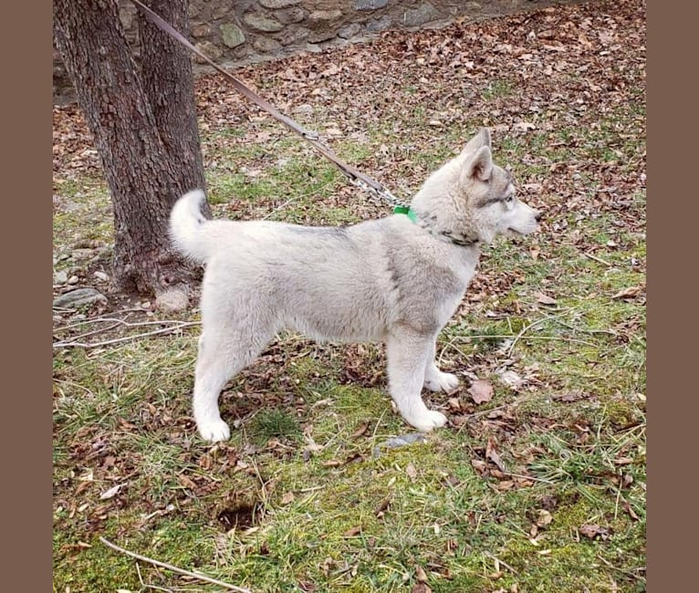 Photo of Kennon's Song Of Olympus, a Siberian Husky