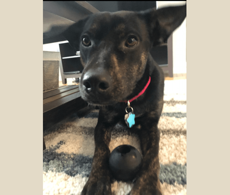 Photo of Poncho, an American Bulldog, Poodle (Small), Rottweiler, American Pit Bull Terrier, Chow Chow, Labrador Retriever, and Mixed mix in Bastrop, Texas, USA