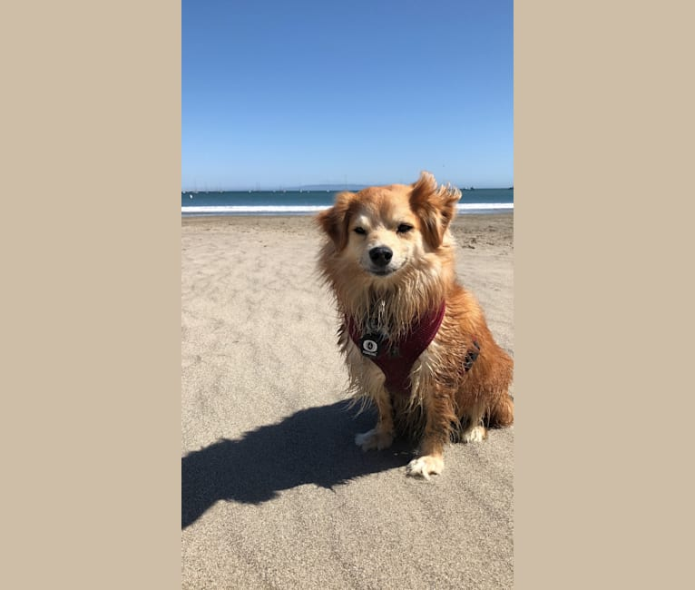 Photo of Koda, a Pomeranian, Dachshund, Yorkshire Terrier, Maltese, and Chihuahua mix in Rancho Cucamonga, California, USA