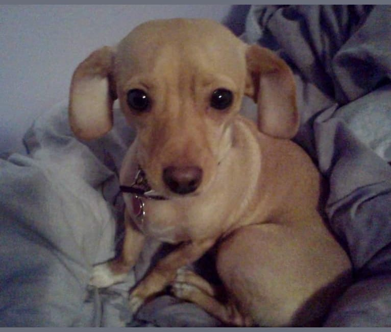 Photo of Bella, a Chihuahua, Dachshund, Rat Terrier, Poodle (Small), and Mixed mix in Washington, USA