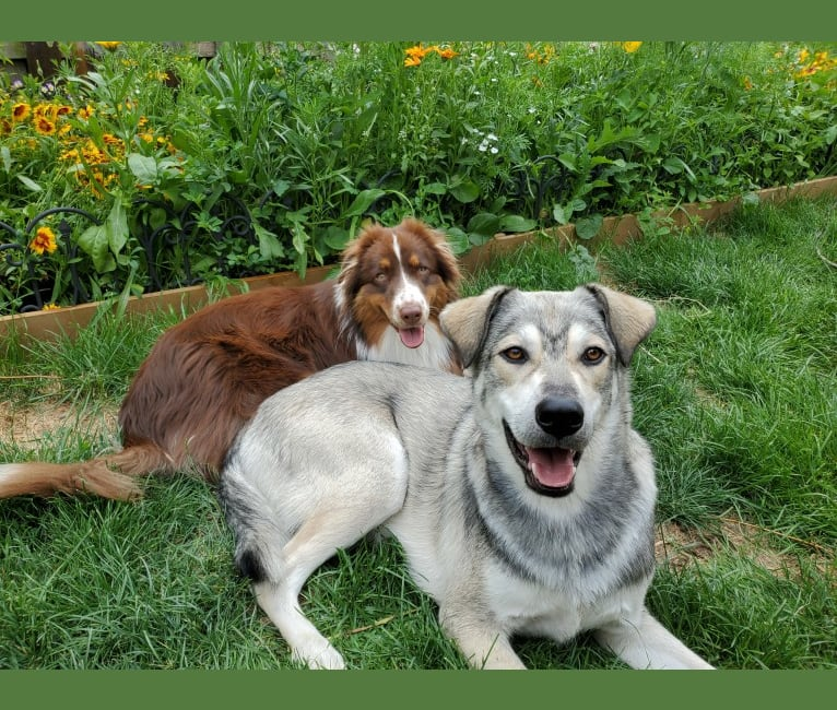 Photo of Timber, a Siberian Husky, American Bulldog, Bichon Frise, German Shepherd Dog, Pomeranian, and Mixed mix in Manitoba, Canada