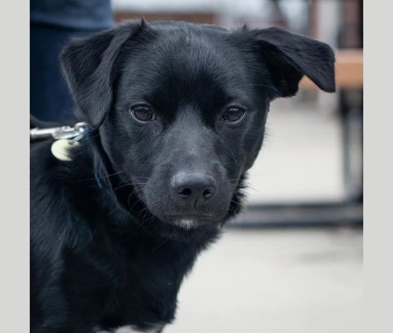 Photo of Bear, a Chihuahua, Miniature Pinscher, Russell-type Terrier, and Dachshund mix in Gahanna, Ohio, USA
