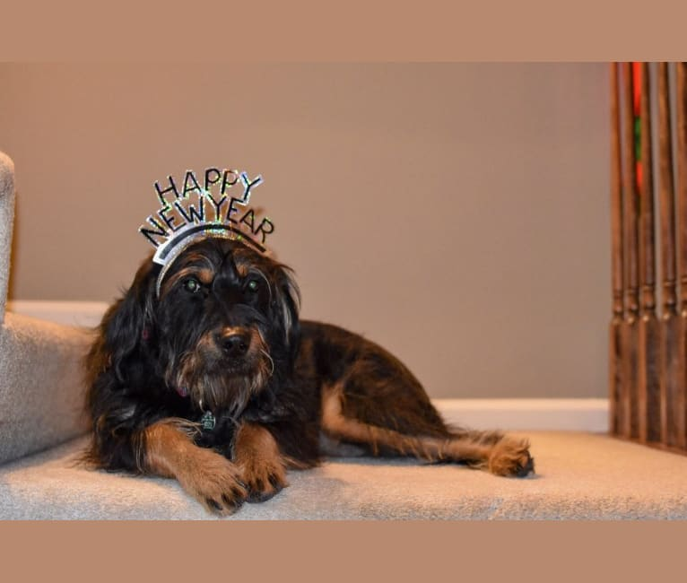 Photo of Klaus, a Golden Retriever, Labrador Retriever, and German Shepherd Dog mix in West Virginia, USA