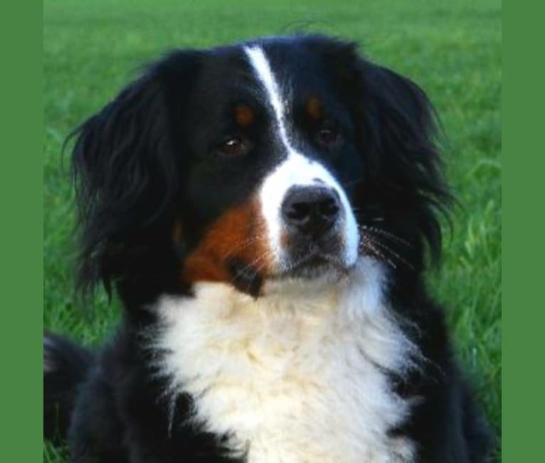 Photo of Jlo, a Bernese Mountain Dog  in Lieshout, Noord-Brabant, Nederland