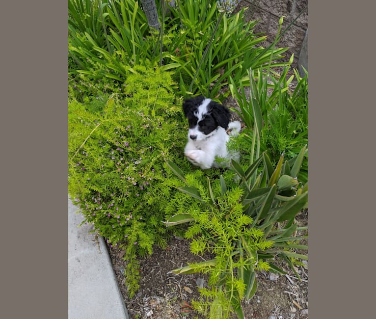Photo of Boomer, a Poodle (Small) and Mixed mix in San Diego, California, USA