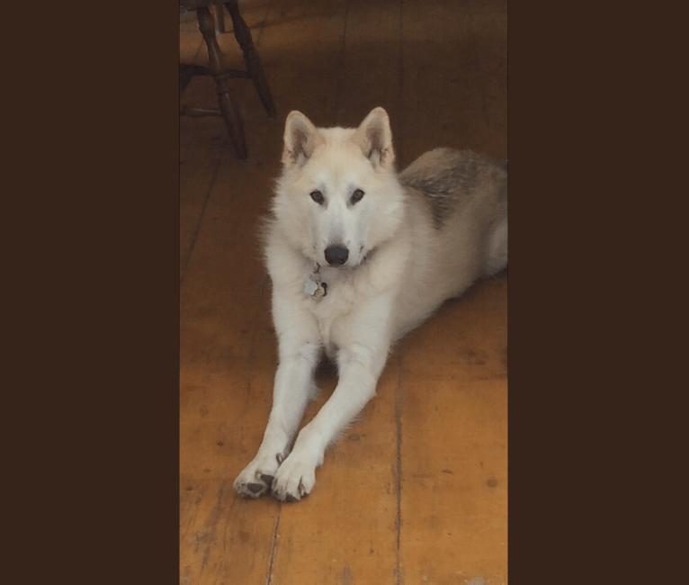 Photo of Hunter, an Alaskan Malamute, Greenland Dog, Siberian Husky, and German Shepherd Dog mix in Nunavut, Canada