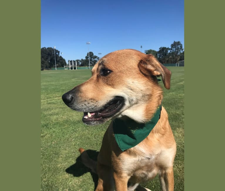 Photo of Louie, a German Shepherd Dog, American Pit Bull Terrier, Great Pyrenees, and Labrador Retriever mix in California, USA