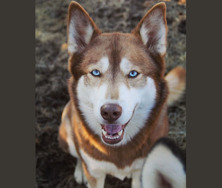 Photo of Asha, a Siberian Husky and German Shepherd Dog mix in Sioux Falls, South Dakota, USA