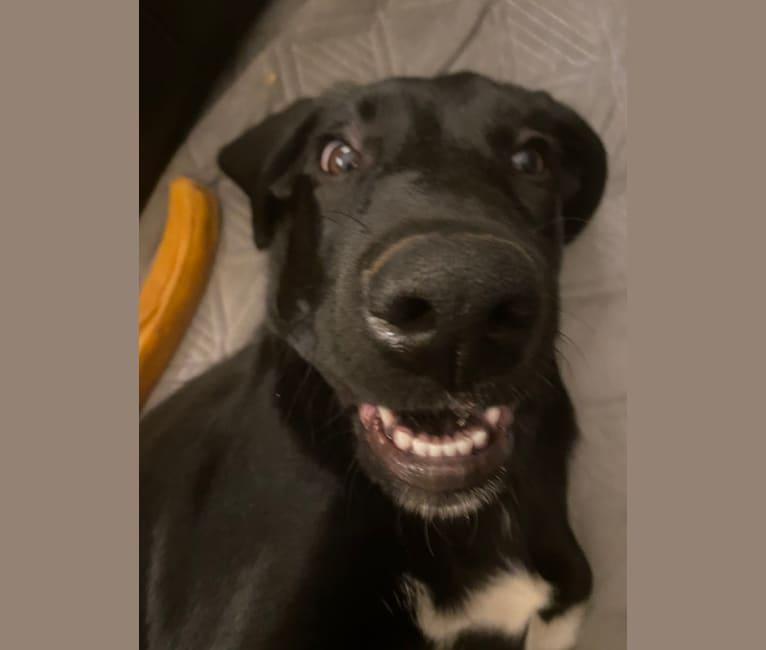 Photo of Harley Muggins, a Labrador Retriever mix in Shelby, North Carolina, USA