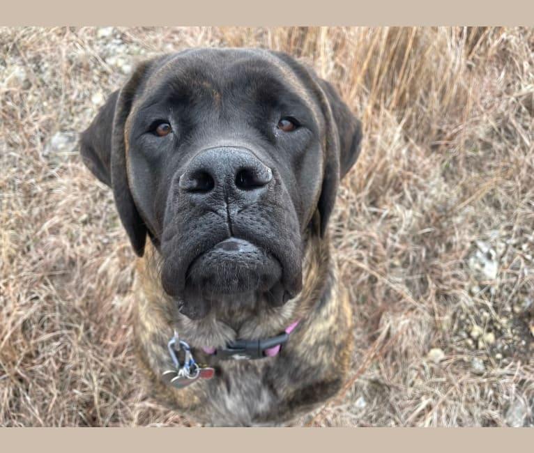 Photo of Calliope Jo Prudence Plein, a Mastiff  in Lincoln, NE, USA