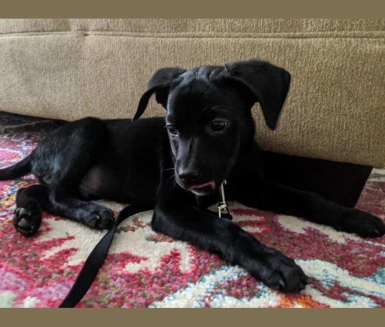 Photo of Felix, a Labrador Retriever and Mountain Cur mix in Illinois, USA