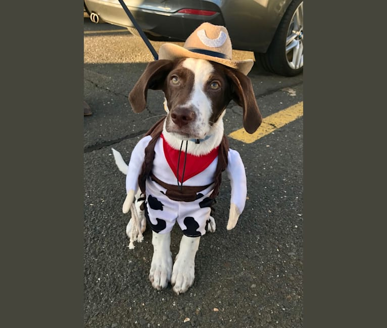 Photo of Indy, a Pointer, Australian Shepherd, and Mixed mix in Mississippi, USA
