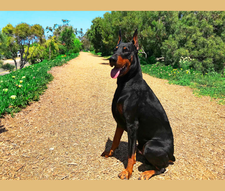 Photo of Jax Rubens, a Doberman Pinscher  in Pico Rivera, California, USA