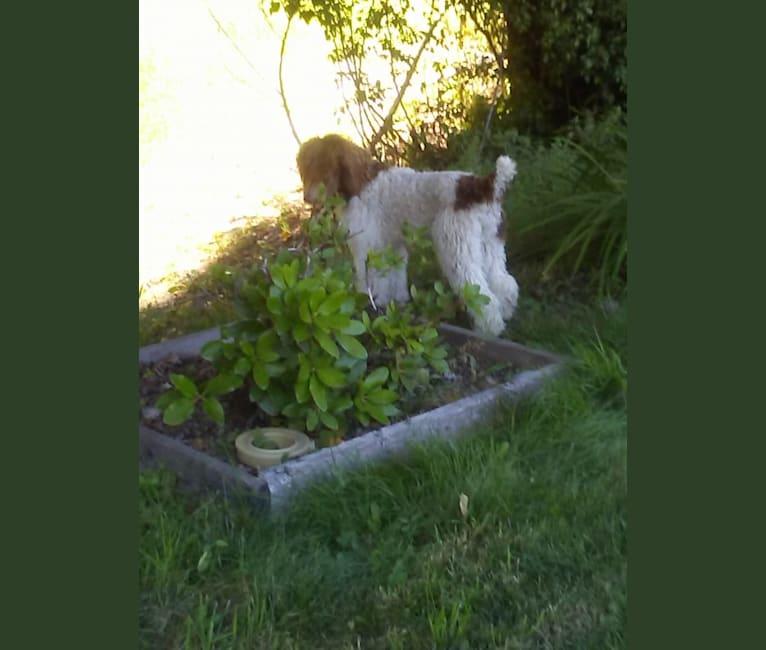 Photo of RITA, a Poodle (Standard)  in Newman Lake, Washington, USA