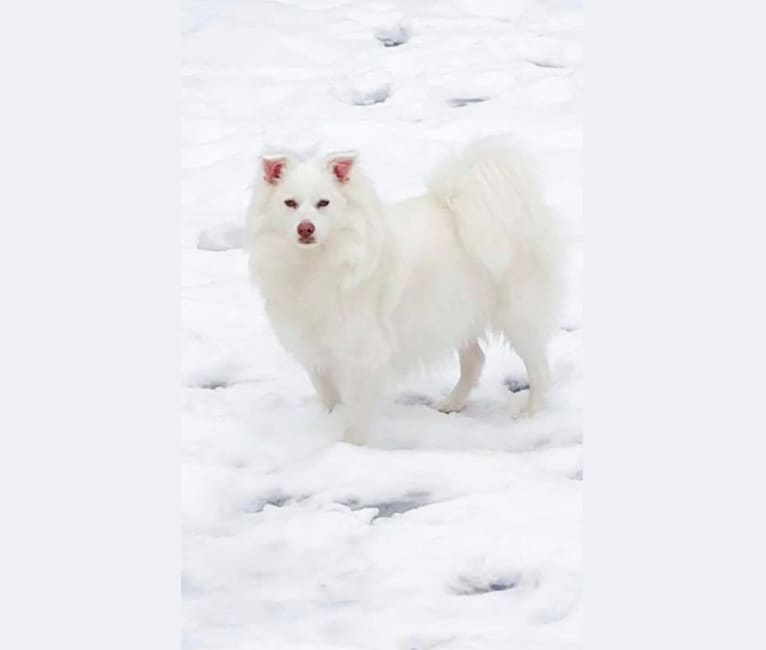 Photo of Luna, an American Eskimo Dog  in Aliquippa, Pennsylvania, USA