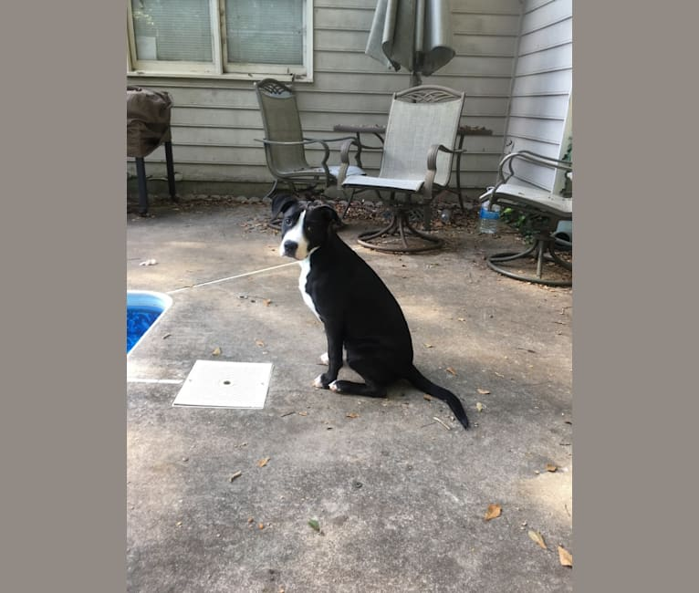 Photo of Chance, an American Pit Bull Terrier, Boxer, and American Staffordshire Terrier mix in Dalton, Georgia, USA