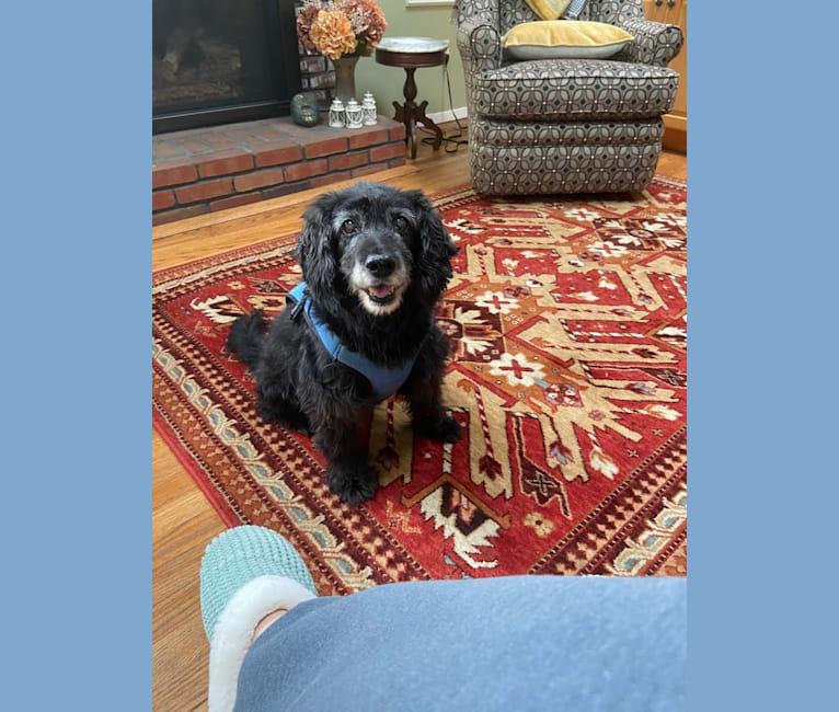 Photo of Apollo, a Poodle (Small), Cocker Spaniel, Bichon Frise, and American Eskimo Dog mix in Port Washington, New York, USA