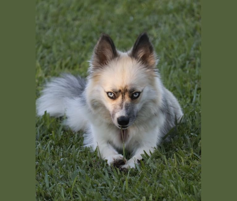 Photo of Roux, a Siberian Husky, Pomeranian, and American Eskimo Dog mix in Denham Springs, LA, USA