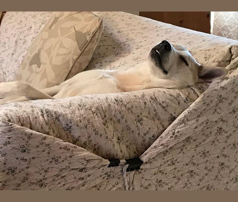 Photo of Skye, a Siberian Husky, Australian Cattle Dog, Catahoula Leopard Dog, and Chow Chow mix in Texas, USA
