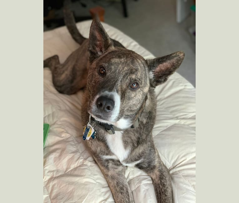 Photo of Jax, an Australian Cattle Dog, American Pit Bull Terrier, Chow Chow, Labrador Retriever, and Mixed mix in Asheville, North Carolina, USA