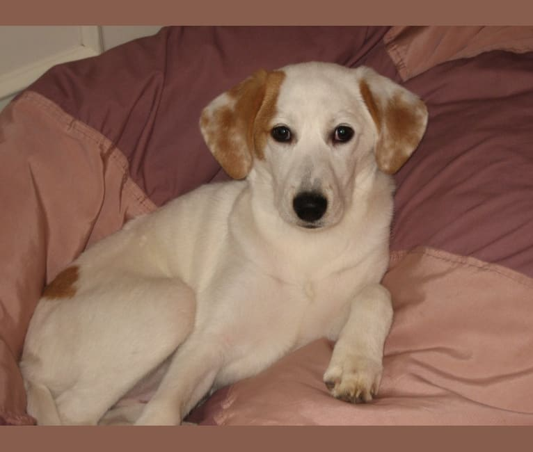 Photo of Zooey, a Beagle, Collie, American English Coonhound, and Mixed mix