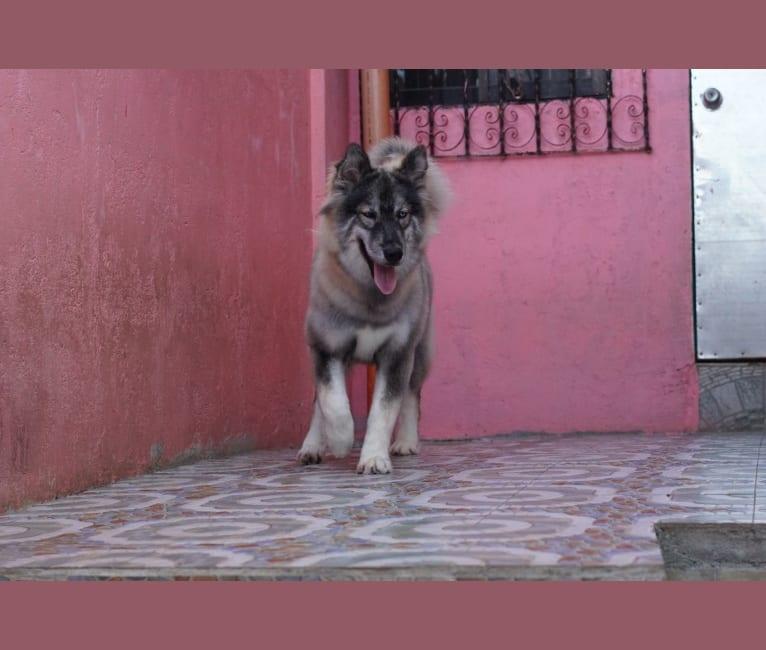 Photo of Luna negra, a Siberian Husky  in Dasmariñas, Calabarzon, Philippines