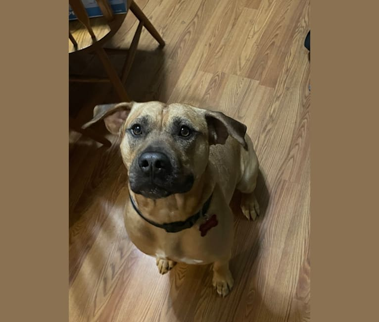 Photo of Goose, an American Pit Bull Terrier and American Staffordshire Terrier mix in Bellevue, Washington, USA