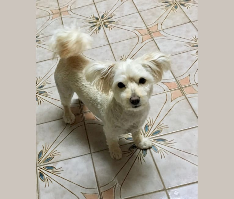 Photo of Penny, a Pomeranian, Poodle (Small), Bichon Frise, Chihuahua, and Mixed mix