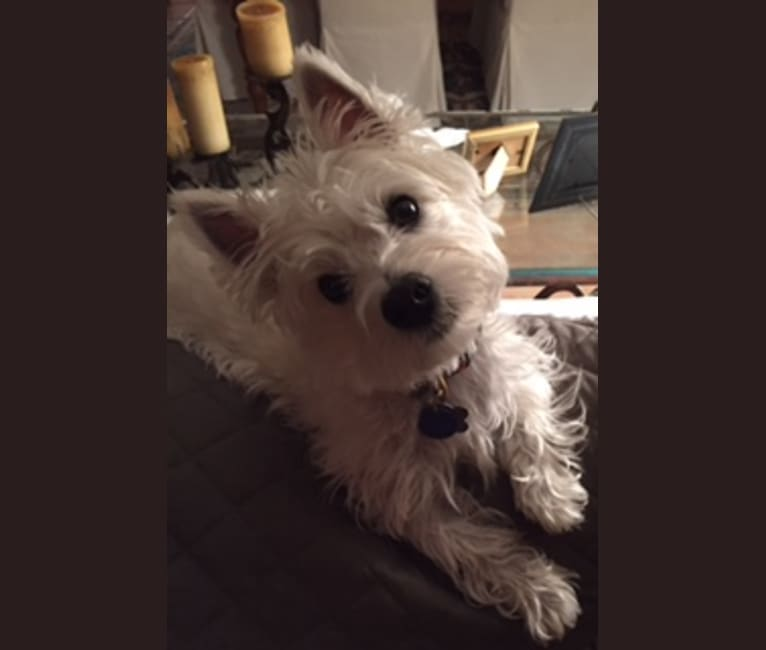 Photo of Maisie, a West Highland White Terrier