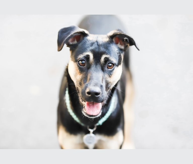 Photo of Roo, a Labrador Retriever, American Pit Bull Terrier, and Mixed mix in Moorestown, New Jersey, USA