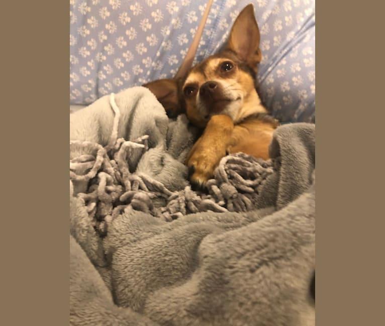 Photo of Lilbit, a Chihuahua, Miniature Pinscher, Rat Terrier, and Mixed mix in Port Aransas, Texas, USA