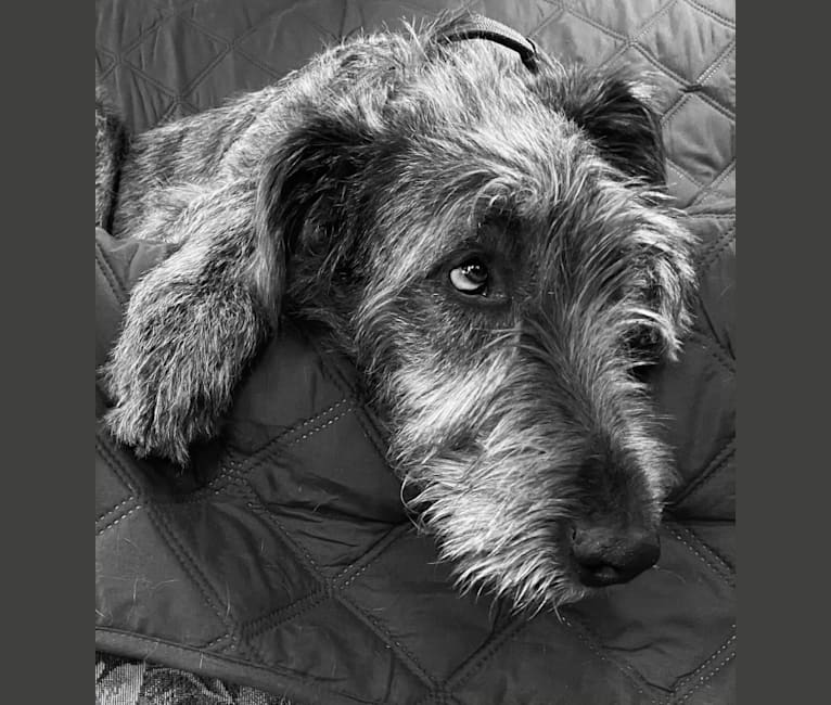 Photo of Noble, an Irish Wolfhound  in 9766 Marble Road, Machias, NY, USA