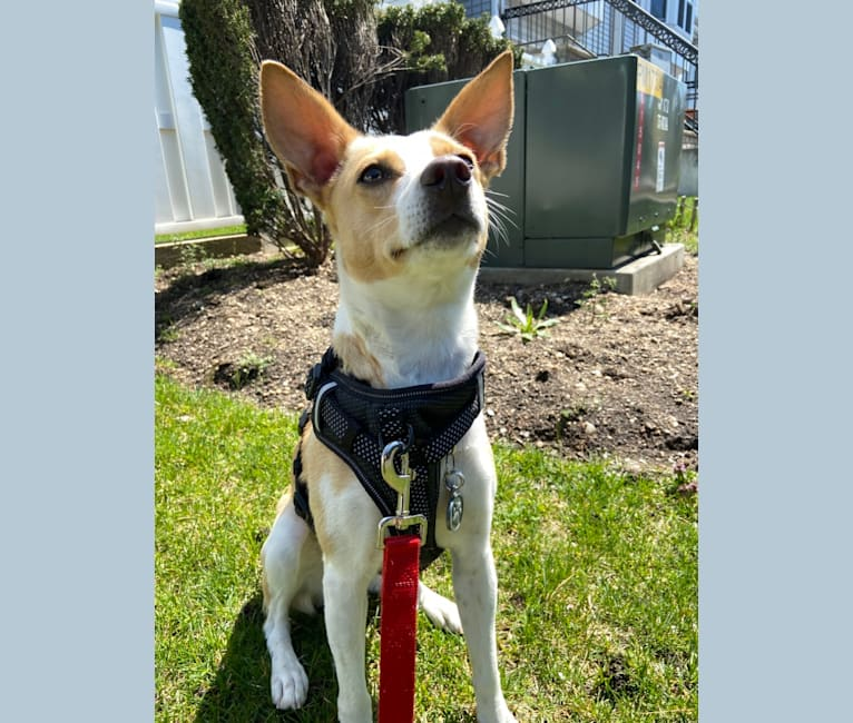 Photo of Bailey, a Rat Terrier, American Foxhound, Boston Terrier, and Mixed mix in New Hyde Park, New York, USA