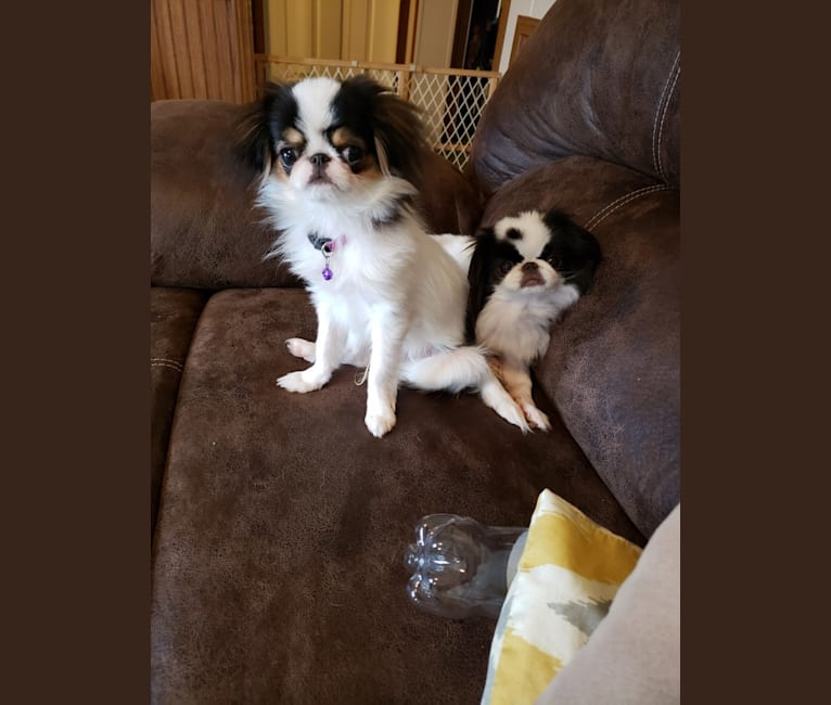 Photo of Posh's Touche Boogeyman is Comin' To Get Ya, a Japanese Chin  in Illinois, USA