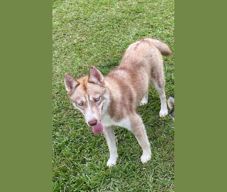 Photo of Roxie, a Siberian Husky