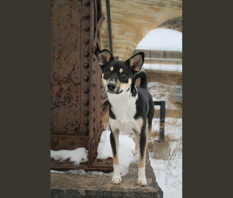 Photo of Kylo, a Shiba Inu, American Eskimo Dog, Siberian Husky, Labrador Retriever, and Mixed mix in Fergus Falls, Minnesota, USA