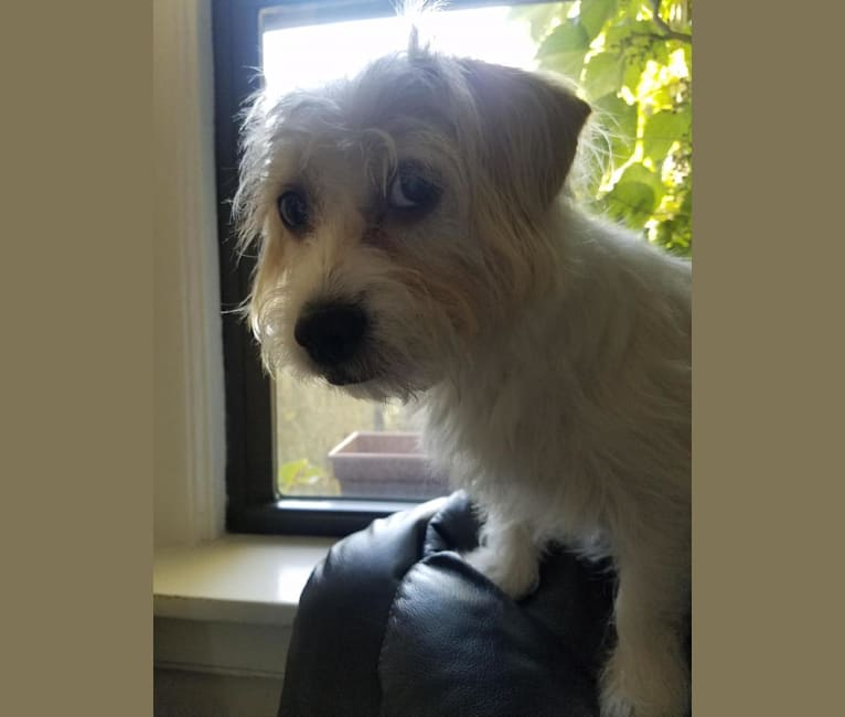 Photo of Higgie, a Maltese, Poodle (Small), Chihuahua, Cocker Spaniel, and Pekingese mix