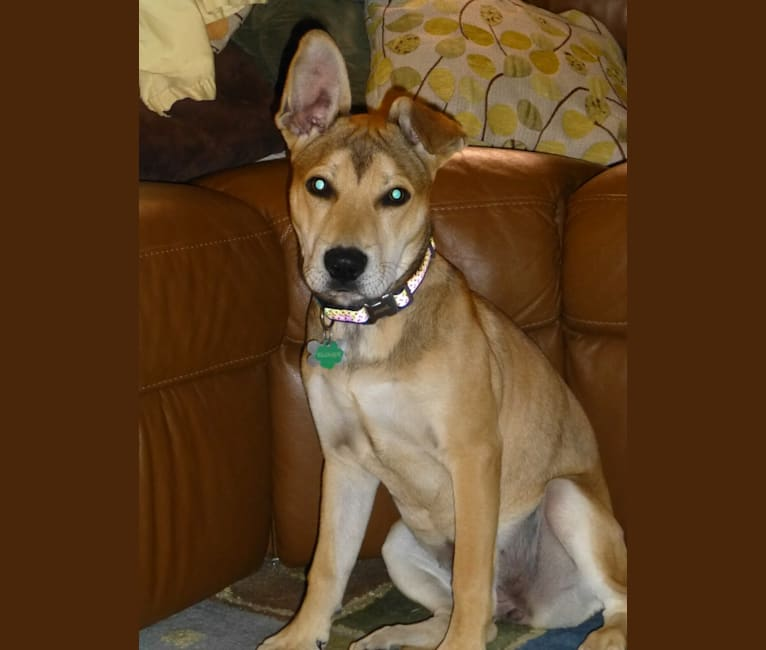 Photo of Clover, an American Pit Bull Terrier, German Shepherd Dog, Australian Cattle Dog, and Mixed mix in Arizona, USA
